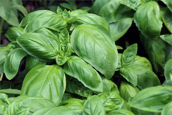Basil Essential Oil, Sweet (Linalool Chemotype)
