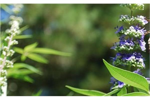 Chaste Tree (Vitex) Essential Oil