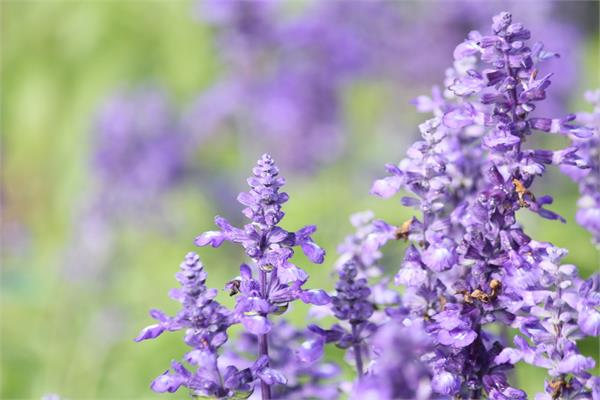 Clary Sage Essential Oil (Bulgarian)
