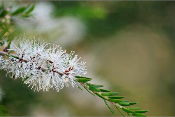 Kunzea Essential Oil (Southern Spring Flower)