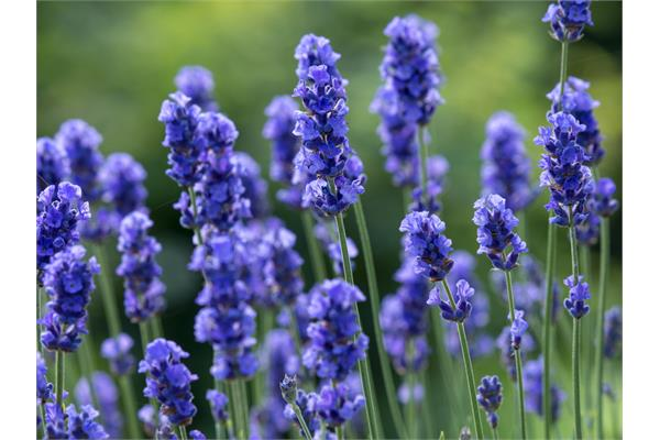 Lavender Absolute