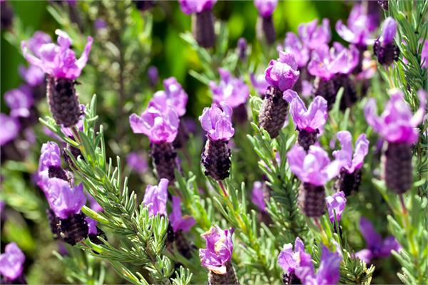 Lavender Essential Oil (French Alpine)