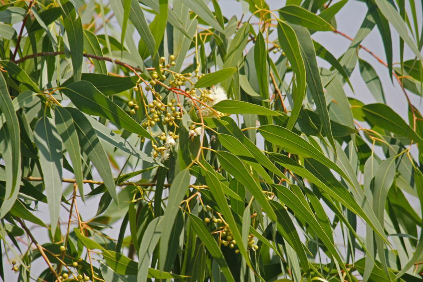 Lemon Scented Eucalyptus Essential Oil from Ahimsa Oils