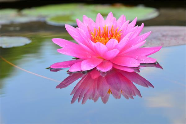 Lotus Flower Absolute (Pink)