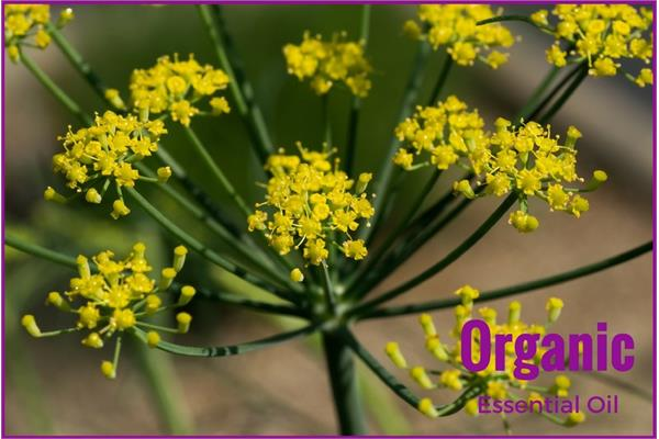 Organic Fennel Essential Oil