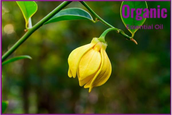 Organic Ylang Ylang  Essential Oil (Complete)