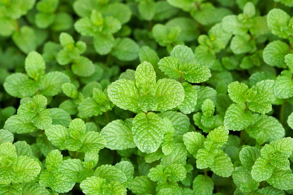 peppermint essential oil french from ahimsa oils