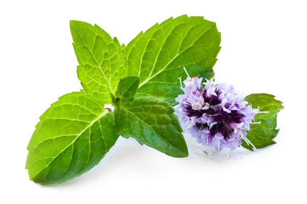 Peppermint Essential Oil (USA)