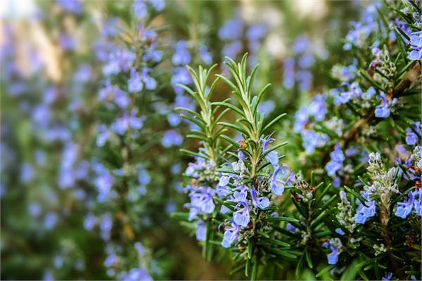Rosemary Verbenone Type in Jojoba